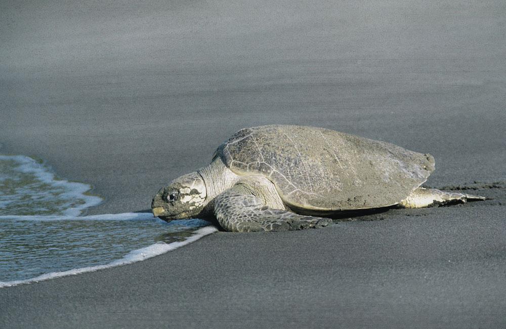 Visiting the Endangered Turtles in Kish Island Iran