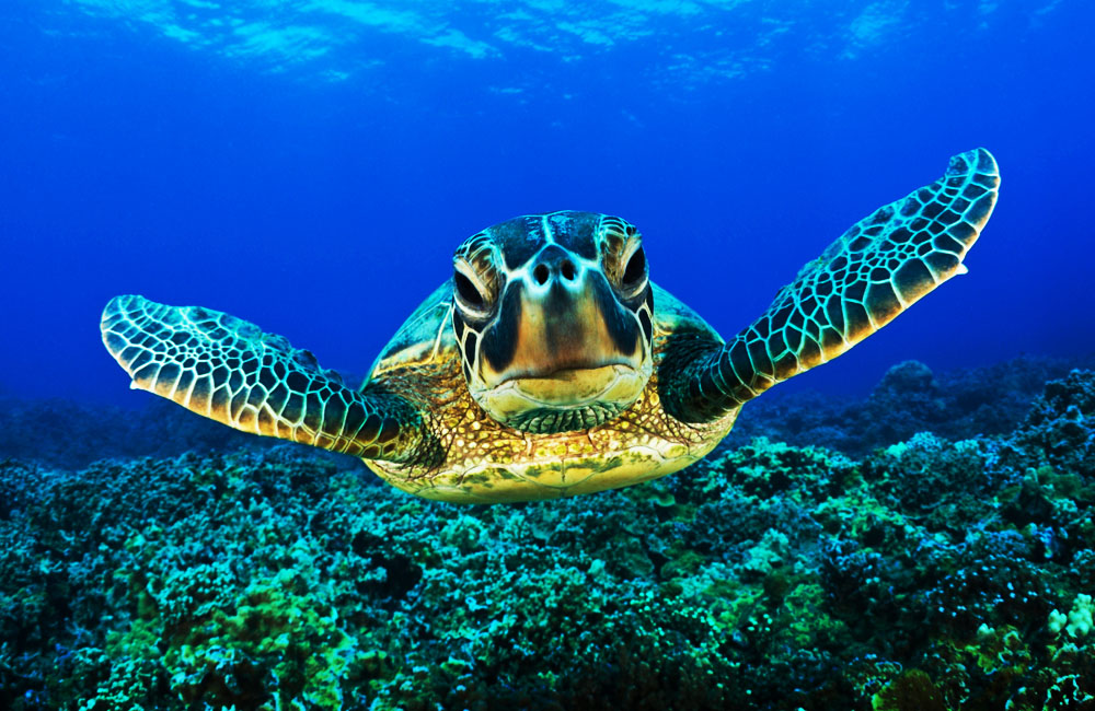 Amazing and The Endangered Hawksbill Turtle