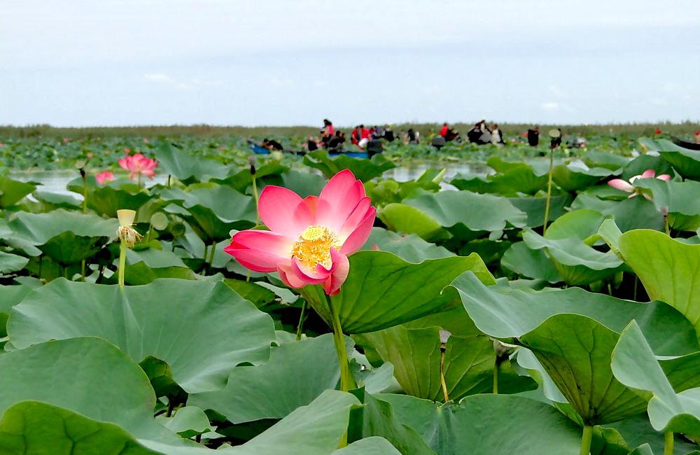 Wetland's tulip of Anzali Lagoon