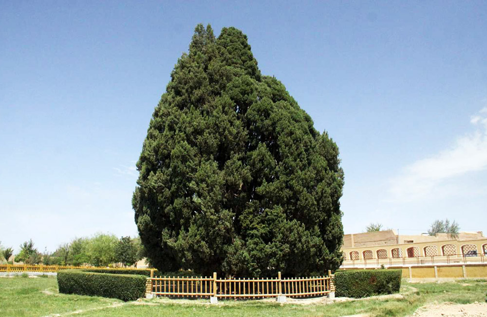 One of the Oldest Trees in the World (Cypress of Abarkuh)